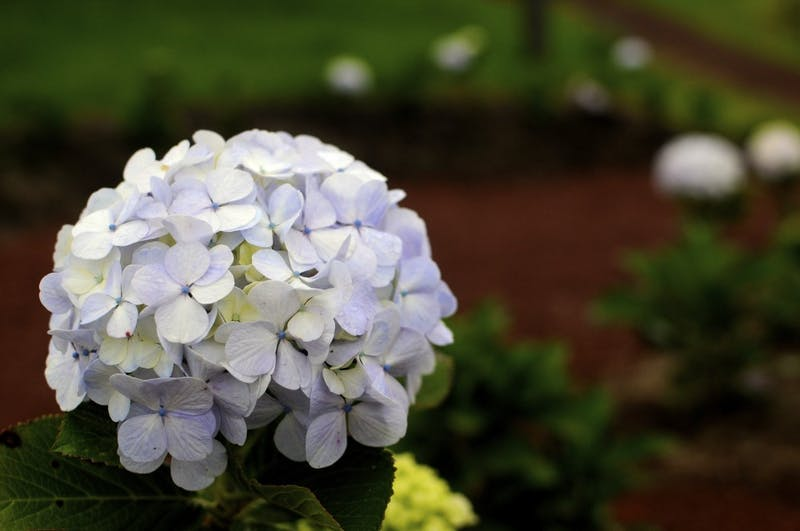 A hydrangea on Sunday, July 2, 2017 at Corso Lechería in Costa Rica. Hydrangeas are popular flowers in Costa Rica, and can be seen planted in the gardens outside of Costa Rican homes.
