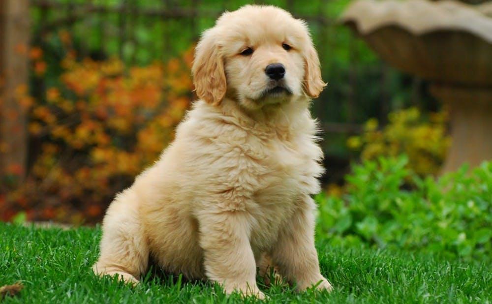 Black Shepherd Dog Puppy