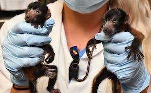 Courtesy of Duke Lemur Center