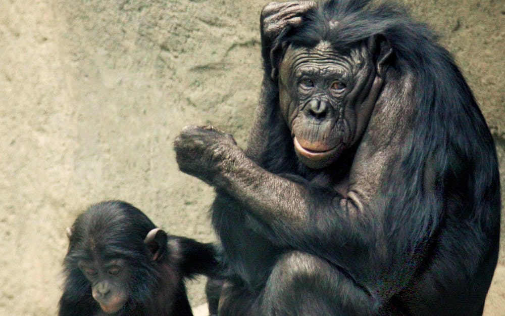 Bonobos_Lana_&_Kesi_2006_CALVIN_IMG_1301