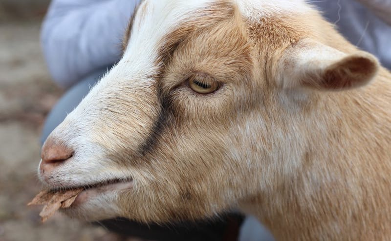 Located a short 20-minute drive from Duke's campus, Hux Family Farm is known for its goat-centered mindfulness activities, including yoga.