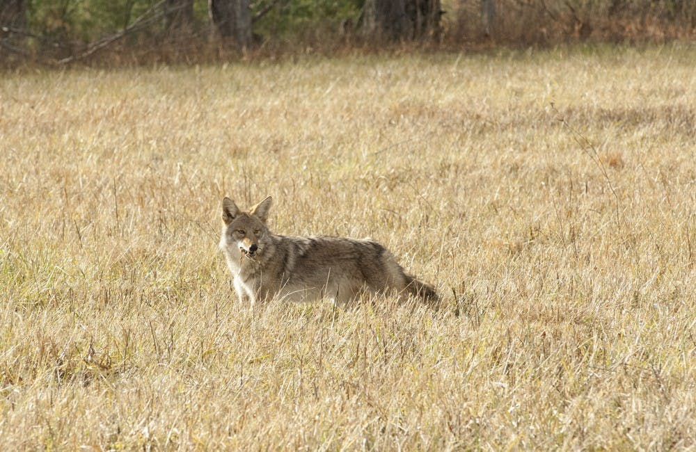 Watch out for coyotes and copperheads this spring