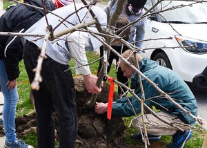 A team of students from the School of Public and Environmental Affairs class E 422, which is Urban Forest Management, prepare a tree to be planted Thursday on Cottage Grove Avenue. The students learned tricks on how to properly plant trees, such as not planting too deep and arranging mulch in a donut shape around the tree.