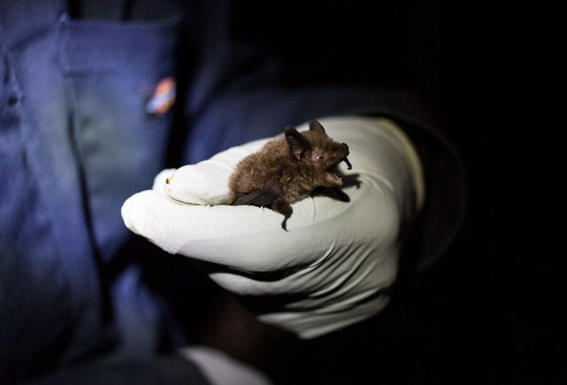 Scientists paid little attention to bats until a decade ago, when a disease called white nose syndrome started wiping out populations across the United States. Now, researchers race against time to find out what bats — and their disappearance — mean for the world at large.