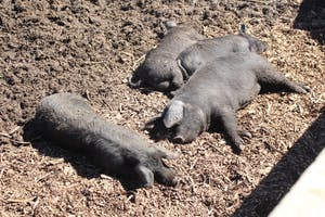 Pigs sleep in the sun at Maple Valley Farm. The pigs, which farmer Larry Howard calls nature's sanitation engineers, fluff up the soil with their snouts to make it easier for soil microbes to eat up carbon-filled materials.