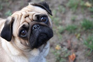 DODOSD/CC BY-SA 3.0 Research shows puppy dog eyes aren't an attempt at getting food, toys or attention.