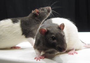 PUBLIC DOMAIN Limiting fat content through a low-calorie diet improves the liver's response to insulin in rats.