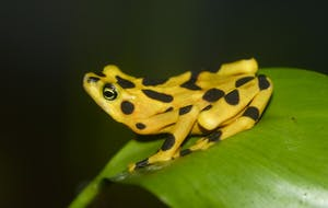 PUBLIC DOMAIN Panamanian golden frogs may be developing a resistance to the BD skin fungus.
