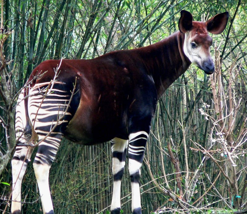 RAUL654/ CC BY-SA 3.0 The okapi, despite its zebra stripes, is the only known relative of the giraffe.