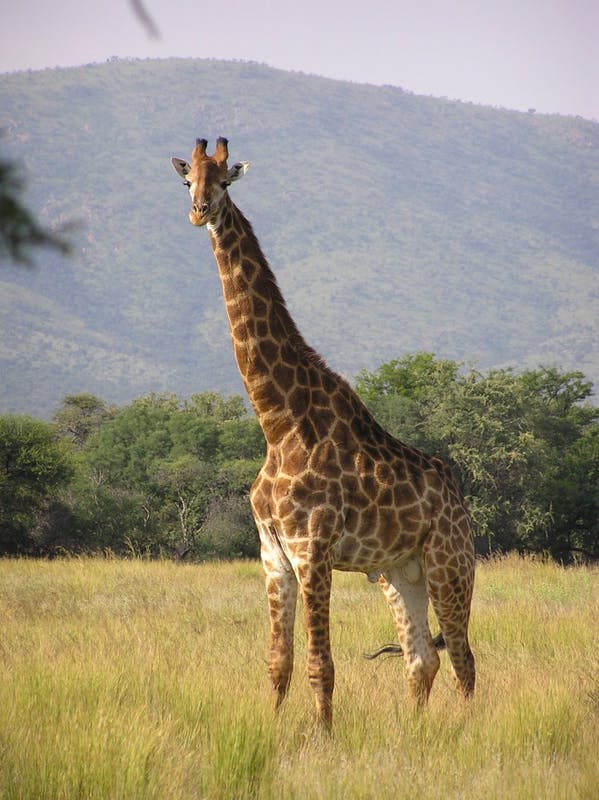 PUBLIC DOMAIN Many people think popular animals such as giraffes are not endangered.