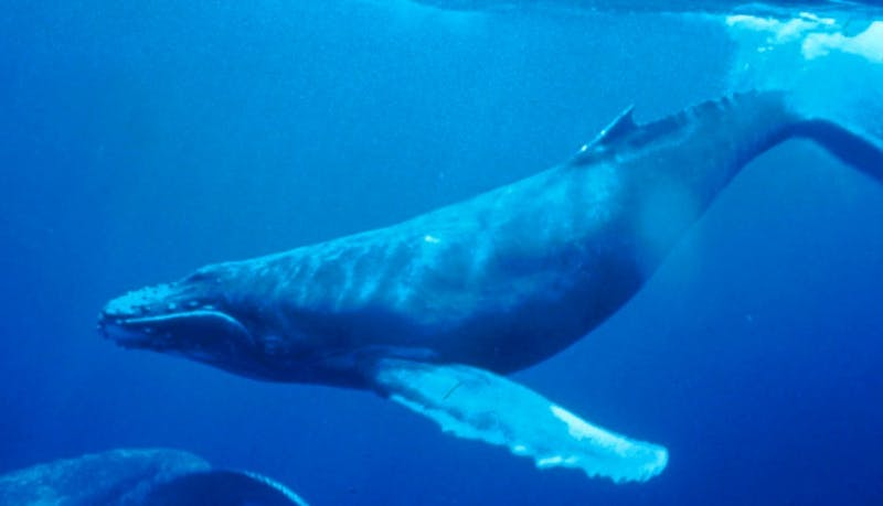 PUBLIC DOMAIN Bowhead whales exfoliate in response to warm weathers, which correspond to their annual migration pattern.