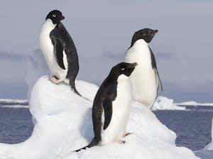 PUBLIC DOMAIN Researchers estimate there are 751,527 pairs of Adélie penguins residing on the Danger Islands.