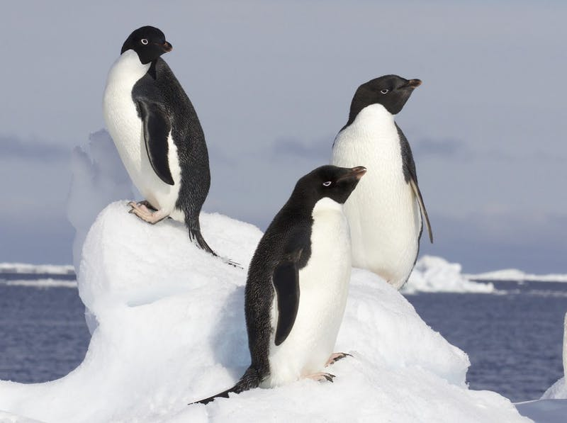 PUBLIC DOMAIN Researchers estimate there are 751,527 pairs of Adélie penguins residing on the Danger Islands.