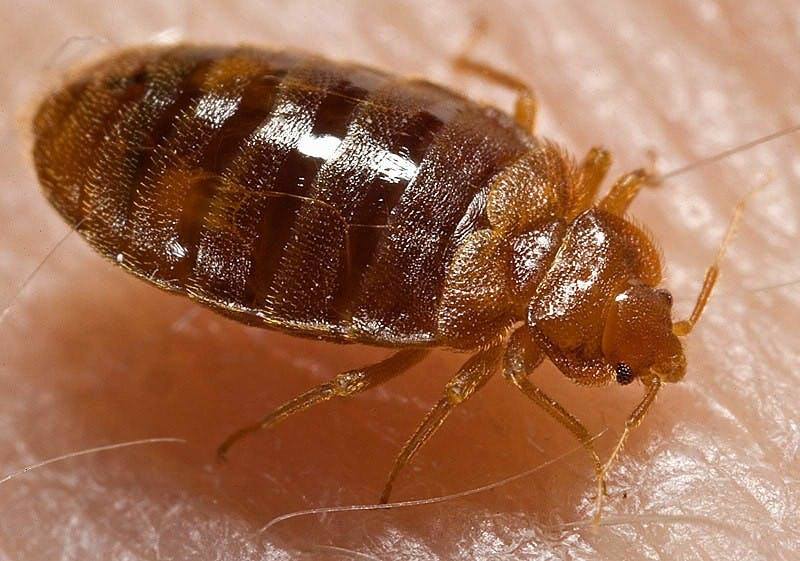 PUBLIC DOMAIN Bed bugs are hard to remove as they can withstand sub-zero temperatures and other extremes.