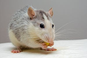PUBLIC DOMAIN Mice develop sexual and aggressive tendencies through social interactions.