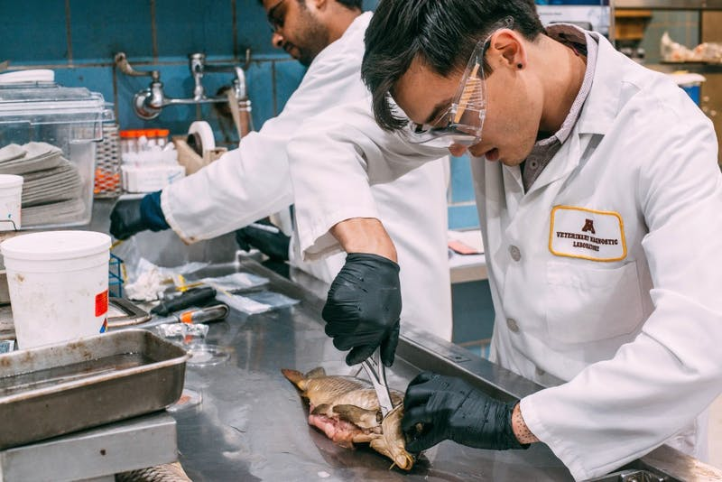 Doctoral student in Fisheries and Aquatic Biology Isaiah Tolo cleans out a carp for dissection in the Veterinary Diagnostic Lab on Tuesday, Oct. 3. Tolo is one of the primary researchers studying the recent koi herpes virus outbreak in Minnesota lakes.