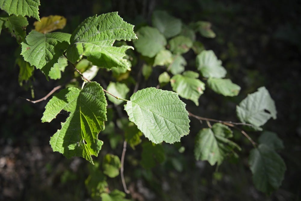 UMN research on tree leaves could help environmental protection