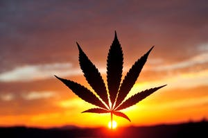 Cannabis leaf silhouette at early morning sunrise