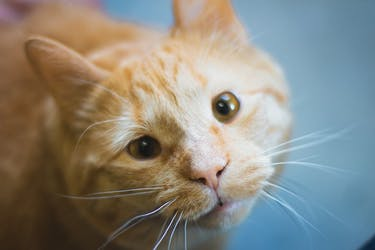 Pumpkin the cat lives in the Athens County Board of Elections office. (FILE)