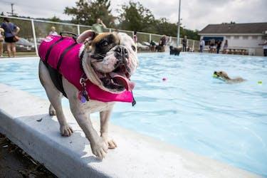 Iris, an English bulldog, struts around the edge of the pool during the dog swim at the Athens City Pool on Aug. 20, 2016. (FILE)