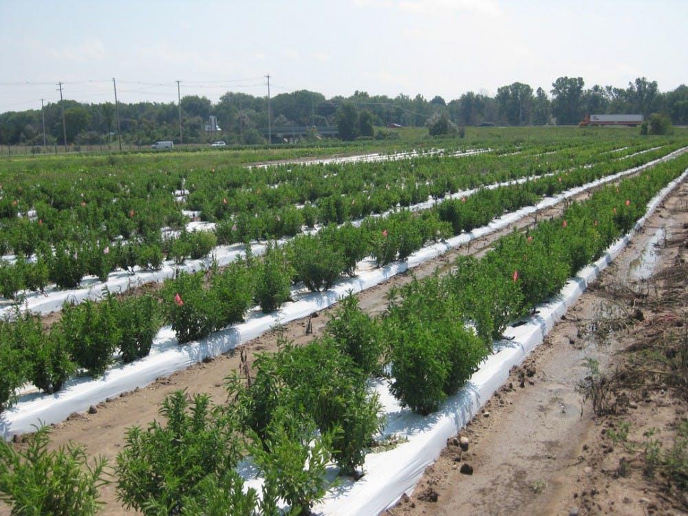 stevia field 2