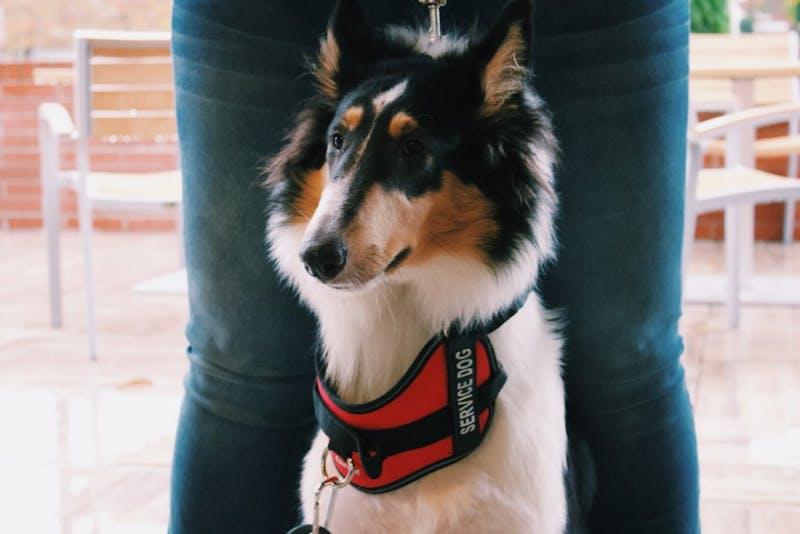 Gypsy is a service dog in training.