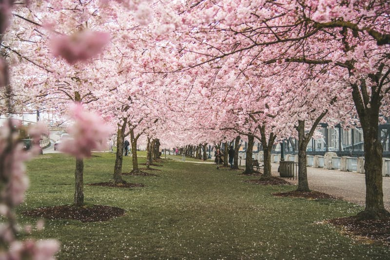 With the cherry blossoms in bloom down by the waterfront, you can feel like you've been transported to another world. Photo courtesy of Jenna Parks.