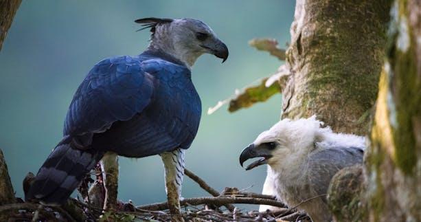 Harpy Eagle.jpg