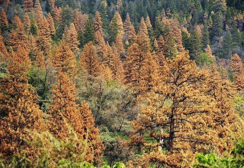 US NEWS ENV-SIERRANEVADA-TREES 1 FR