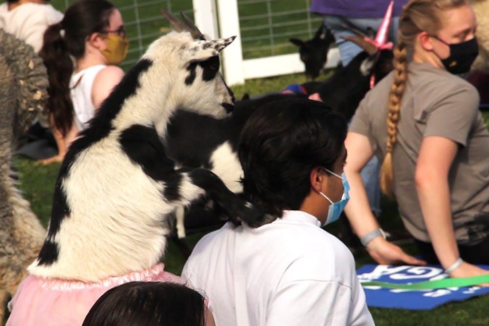 A goat massages a students shoulders.