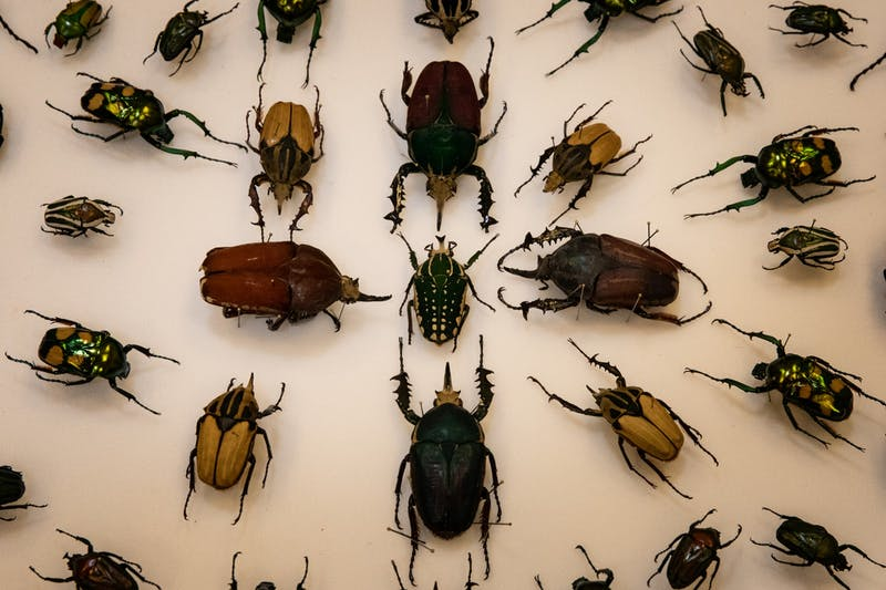 A bunch of insects in the Frank F. Hasbrouck Insect Collection on display, showing a love of biophilia.