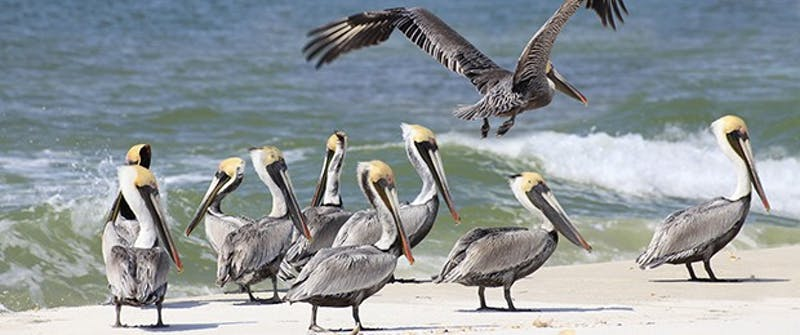 gulfpelicans