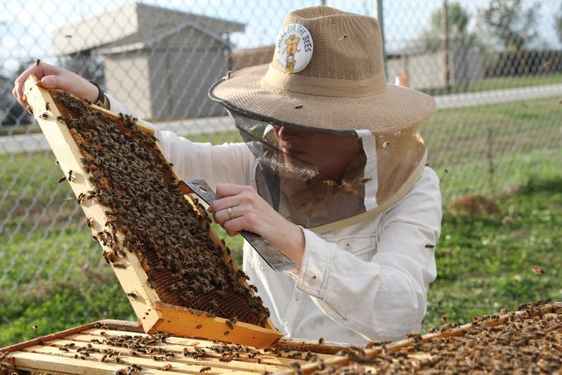 Auburn  University  Bee  Lab  research  technician  Emily  Muehlenfeld  examines  honey  bees  in  abee  hive.  The  nation's  beekeepers  lost  40  percent  of  their  managed  honey  bee  colonies  betweenApril  1,  2017,  and  March  31,  2018,  an  increase  of  almost  7  percentage  points  from  the  previousyear's  total  loss  rate.