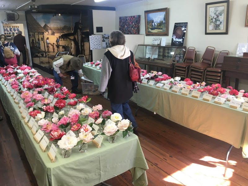 "GALLERY: The Auburn-Opelika Men's Camellia Club's ""Fall Camellia Show"" 