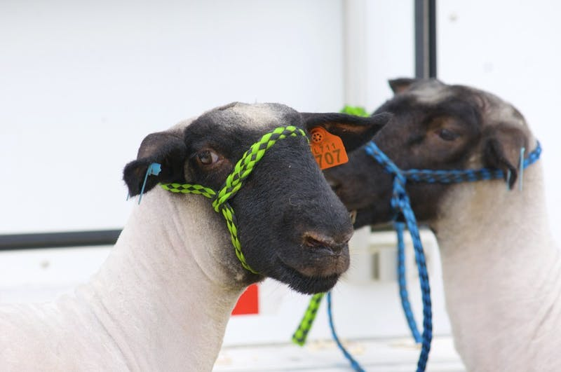 GALLERY: Lamb and Goat Show | 8.26.17
