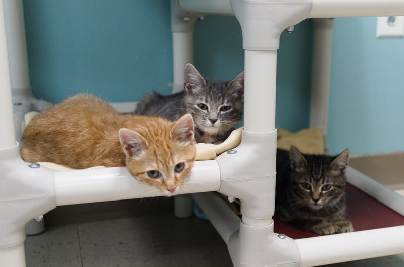 Three adoptable kittens located at Lee County Humane Society in Auburn, Ala. August 31, 2021.