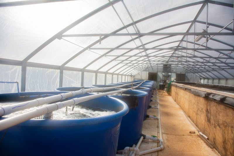 New tanks used in Auburn University's aquaponics facility will feature species of fish like tilapia, bass and saltwater species like shrimp.