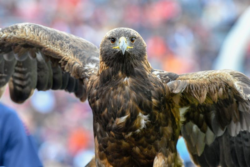 Aurea the golden eagle during Auburn Football vs Liberty on Saturday, Nov. 17, 2018, in Auburn, Ala.
