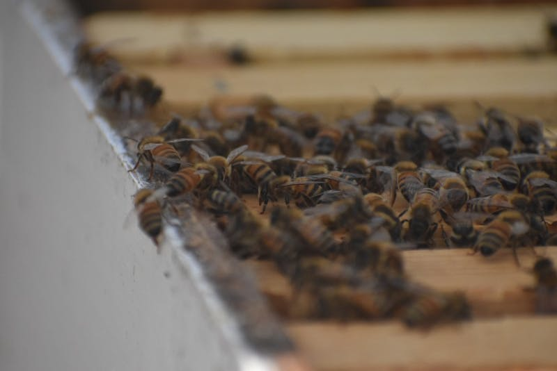Honey bees at The Bee Lab