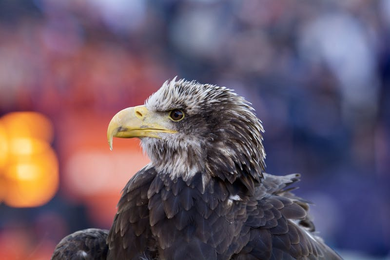 The eagle during the Auburn vs. Georgia game on Saturday, Nov. 16, 2019, in Auburn, Ala.
