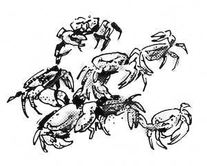 purple-marsh-crab-bdh-illustration1