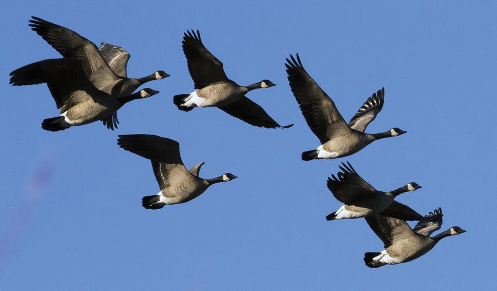 <p>Geese are coming back from winter down South are students are terrified. <strong>Darin Oswald, TNS PHOTO</strong></p>