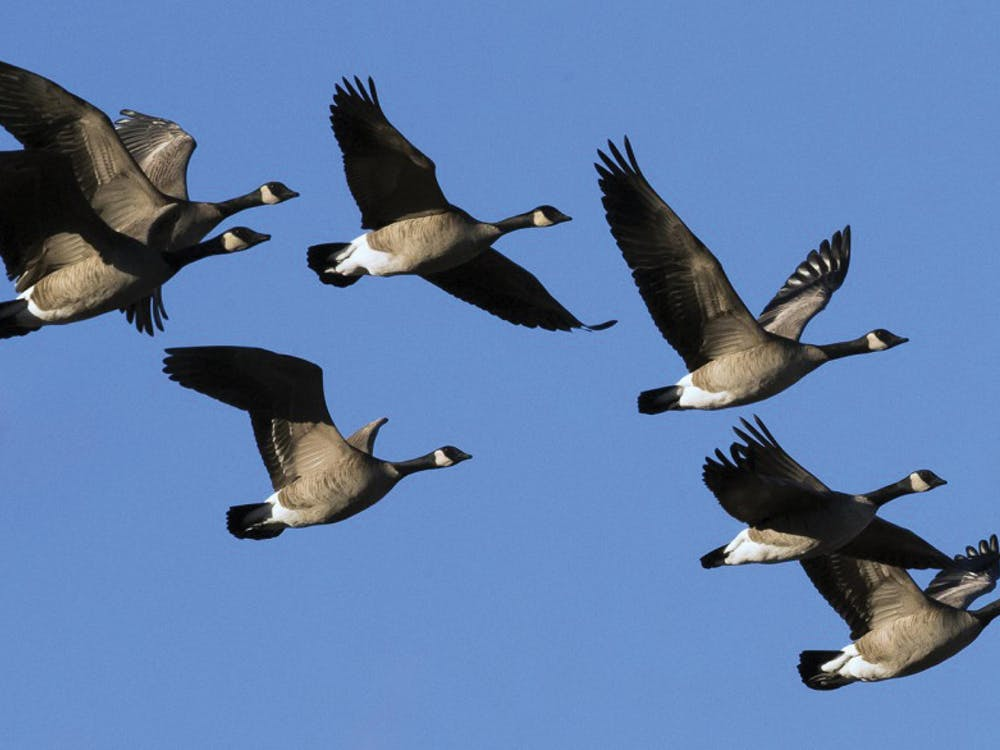 Geese are coming back from winter down South are students are terrified. Darin Oswald, TNS PHOTO