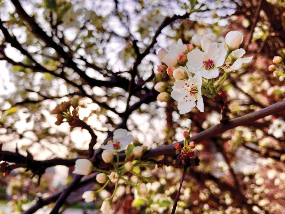The trees outside the Atrium blossom enhancing the aesthetic of Ball State and the stench lurking around campus April 23, 2019. Students can find these tress in front of the Atrium. Liz Reith, DN