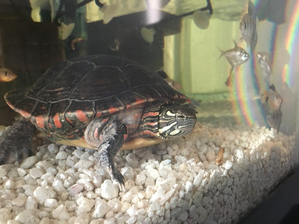 Glen Stamp and Adrienne Bliss ownfour aquatic turtles, one box turtle, two snakes, a rat, two goldfish and two dogs. The family plans on always having pets in their household. Glen Stamp // Photo Provided