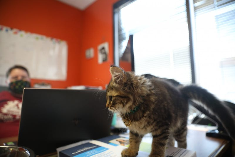 Cleo, Roo's shop cat walks on Hailey Perkins, owner of Roo's Holistic Pet Supplies desk, Aug. 20, 2020. Cleo is a foster cat from a local animal shelter. Jacob Musselman, DN
