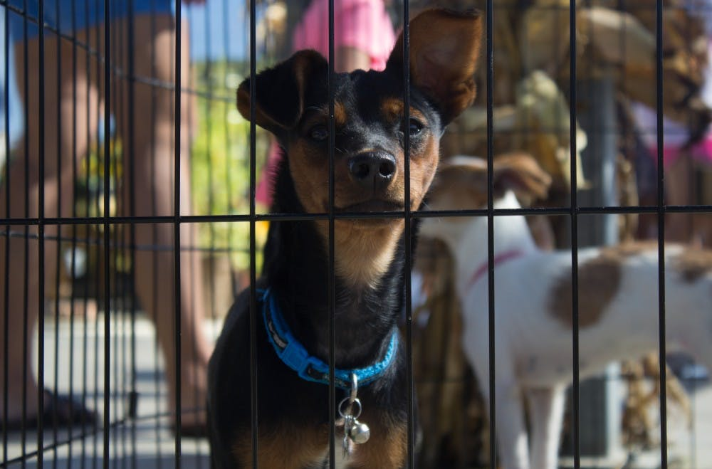<p>A dog looks at vistors at Wasson Nursery Sept. 24 during the Puppies and Pumpkins event, hosted by the Animal Rescue Fund. <strong>Patrick Murphy, DN</strong></p>