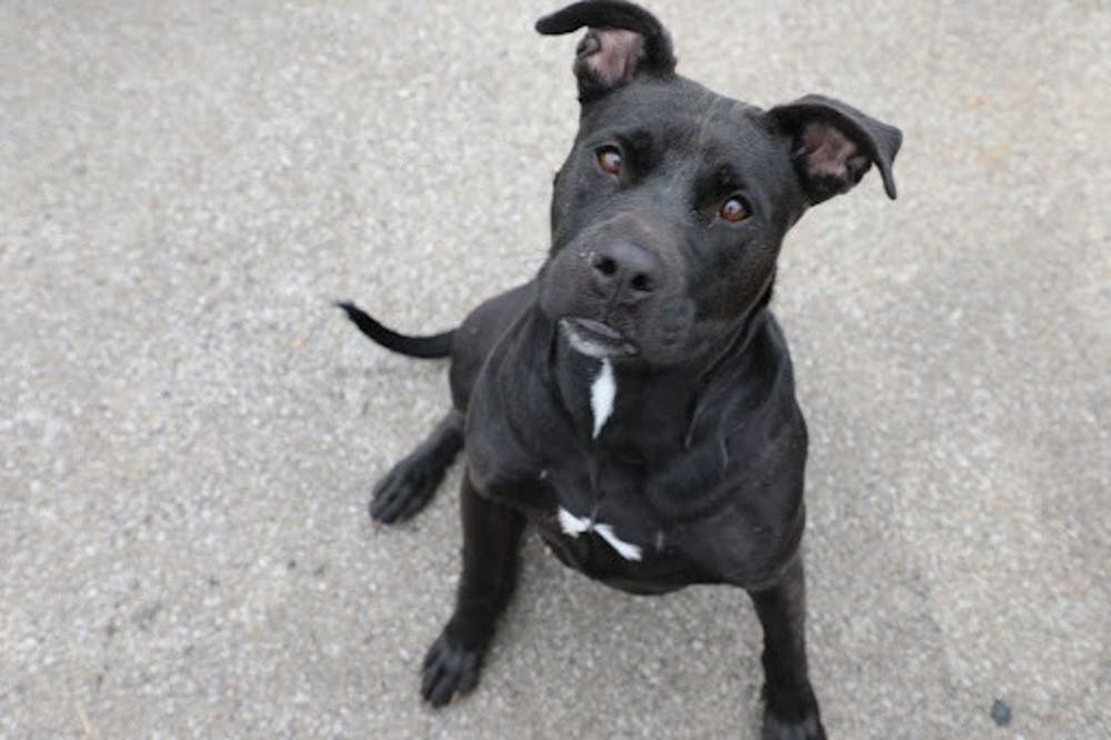 <p>Pictured is Damsel, a terrier mix and one of the many dogs up for adoption at Muncie Animal Care and Services for only $5. Animals ages six and older who have been at the shelter for more than six months are available for free through Oct. 22. <strong>Nathan Hill, DN</strong></p>