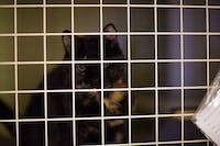 """A cat looks through the grates of its cage at the Muncie Animal Shelter, June 23, 2017. The shelter is holding the 24 hour """"Twelve Strays of Christmas"""" and is providing $5 dog adoptions and $1 cat adoptions. Reagan Allen, DN"""