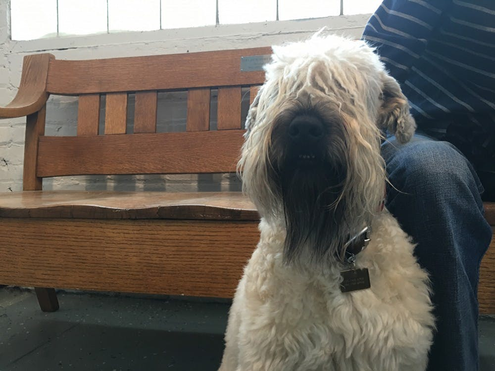 Rai Peterson, a professor in the English department at Ball State, ownsan Irish wheaten terrier,Roscommon,who goes to work with her.Megan Melton // DN